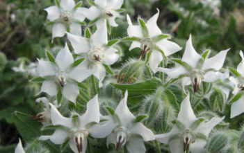 Borago officinalis 'Alba' - White Borage