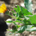 Calendula arvensis - Field Marigold