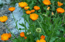 Calendula officinalis