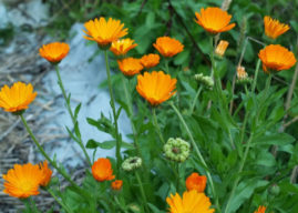 5 Things You Need to Know About Calendula