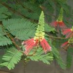 Calliandra calothyrsus - Red Calliandra