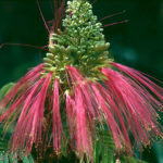 Calliandra calothyrsus - Red Calliandra