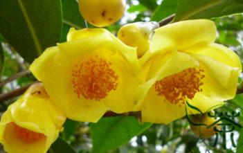 Camellia nitidissima - Yellow Camellia