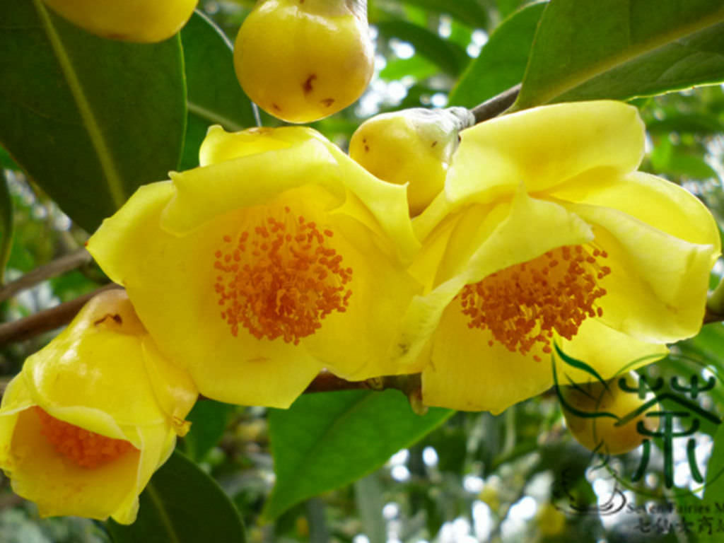 Camellia Nitidissima Yellow Camellia World Of Flowering Plants