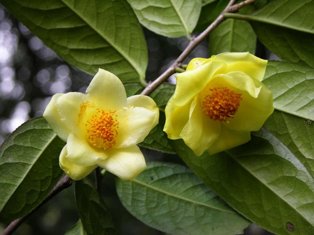 Camellia nitidissima yellow camellia world of - Camelia planta ...
