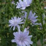 Cichorium endivia - Endive