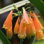 Clivia nobilis - Greentip Lily