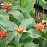 Costus curvibracteatus - Orange Tulip Ginger