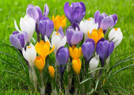 How to Grow and Care for Crocus