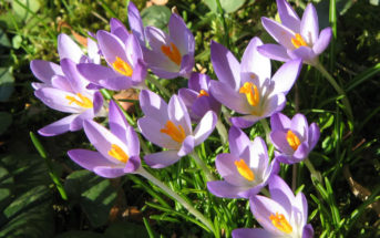 Crocus tommasinianus - Early Crocus