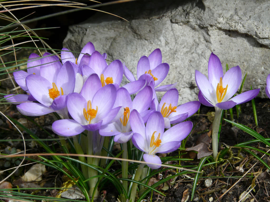 crocus tommasinianus early crocus world of flowering plants. Black Bedroom Furniture Sets. Home Design Ideas