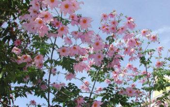 Dahlia imperialis - Bell Tree Dahlia