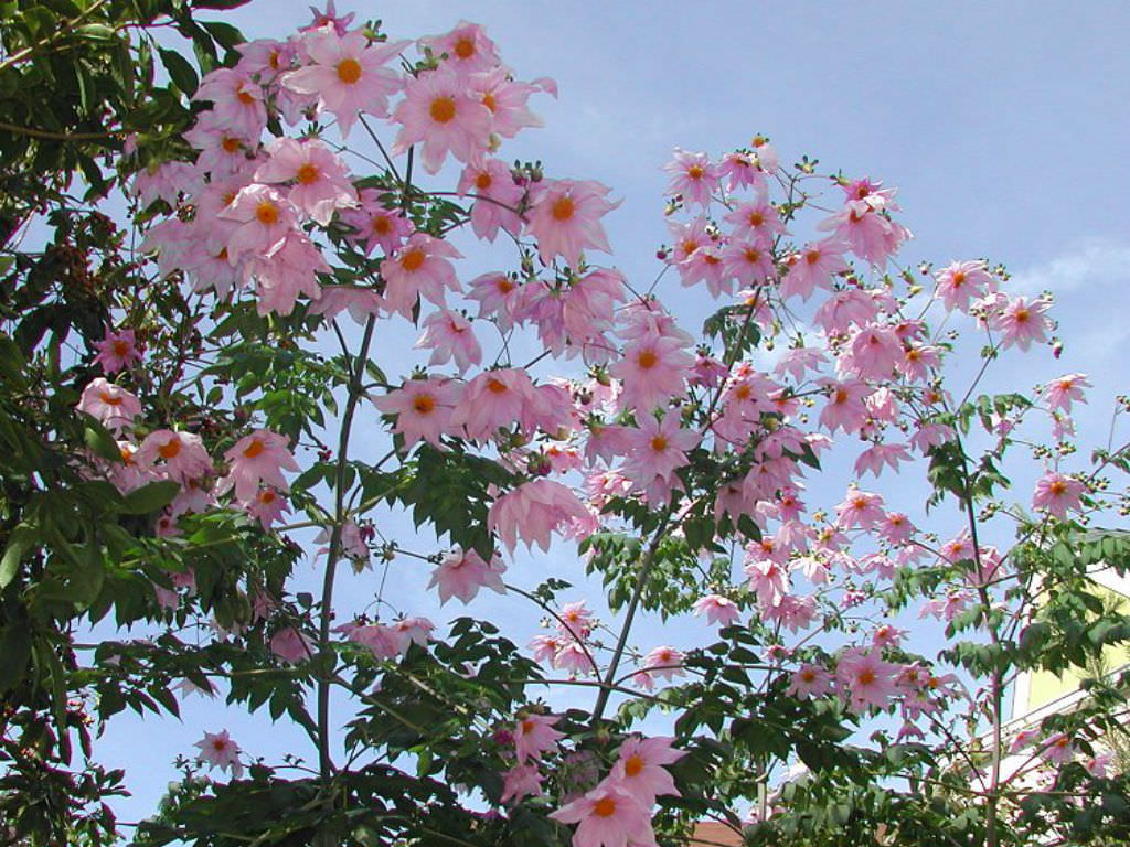 Dahlia Imperialis Bell Tree Dahlia World Of Flowering Plants