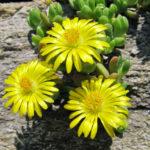 Delosperma nubigenum - Hardy Yellow Ice Plant