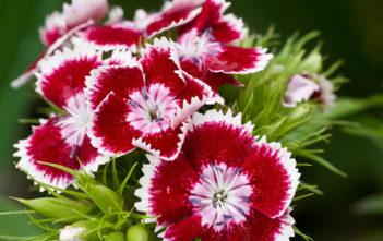 Dianthus barbatus - Sweet William