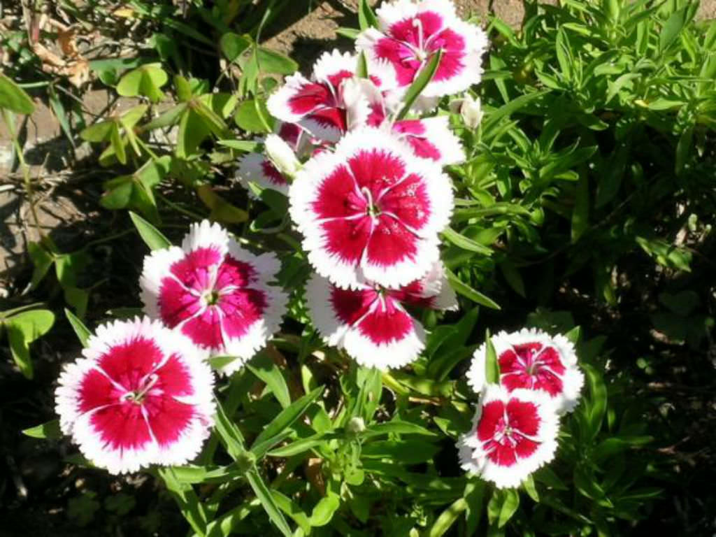 Dianthus barbatus - Sweet William | World of Flowering Plants