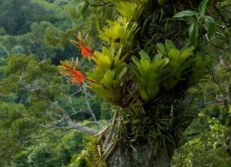Epiphyte (Bromeliad plant)