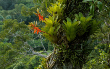 Epiphyte (Bromeliad plant)