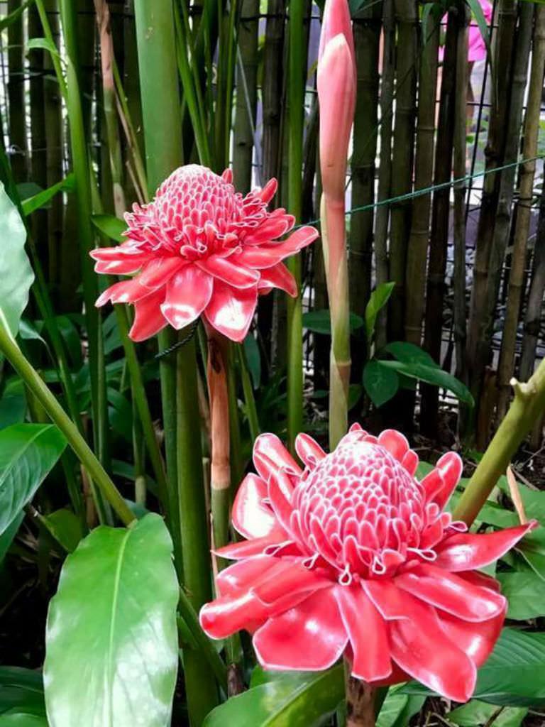 Etlingera Elatior Torch Ginger World Of Flowering Plants