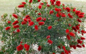 Evergreen Plant (Melaleuca citrina 'Splendens')