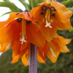 Fritillaria imperialis - Crown Imperial