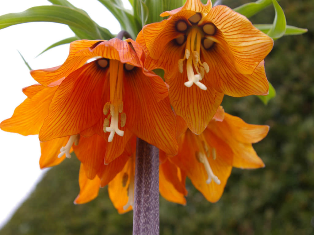fritillaria imperialis crown imperial world of flowering plants. Black Bedroom Furniture Sets. Home Design Ideas