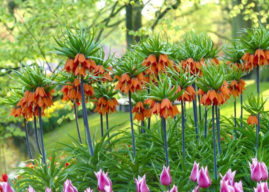 Fritillaria imperialis – Crown Imperial