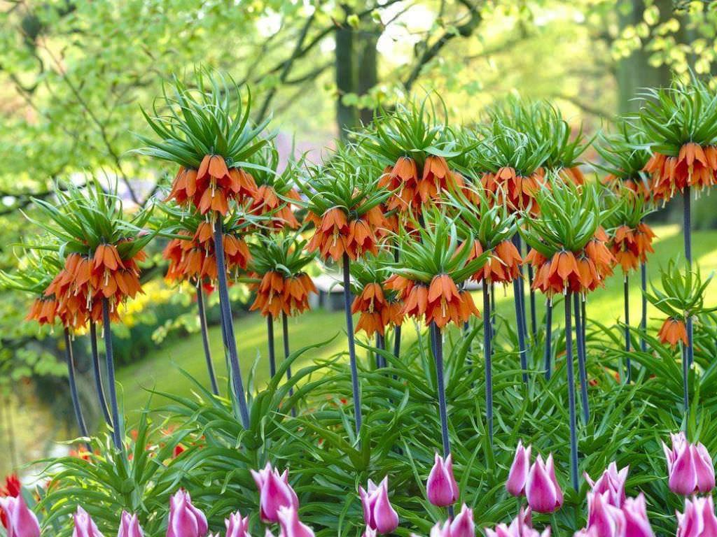 цветы царская корона фото приходило