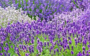 Herbs (Lavender)