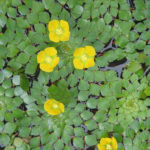 Ludwigia sedoides - Mosaic Plant