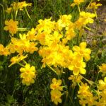 Narcissus jonquilla - Jonquil