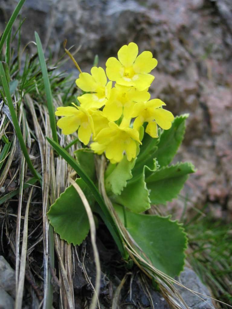 Primula auricula (Auricula Primrose) | World of Flowering ...