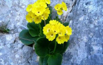 Primula auricula - Auricula Primrose