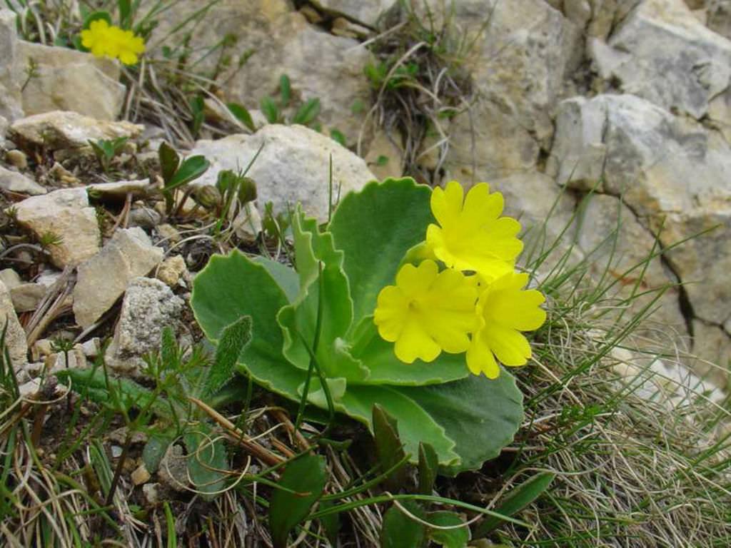 primula auricula auricula primrose world of flowering