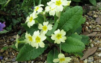 Primula vulgaris - English Primrose