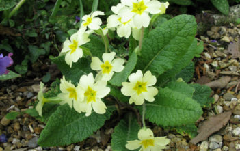 Primula vulgaris - English Primrose