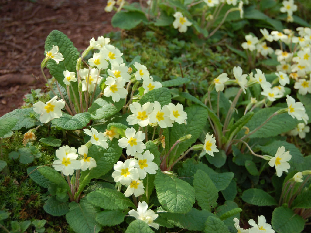 Primula vulgaris - English Primrose | World of Flowering ...