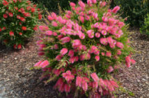 Shrub (Callistemon salignus 'Perth Pink')