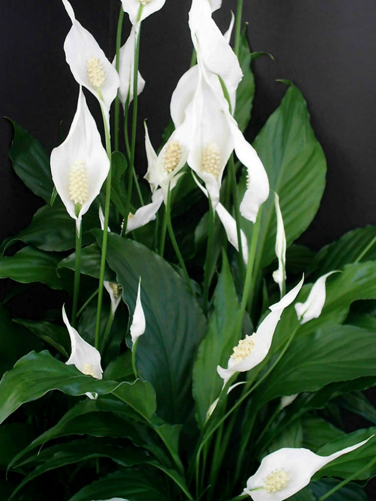 Spathiphyllum wallisii - Peace Lily | World of Flowering ...