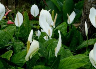 Spathiphyllum wallisii - Peace Lily