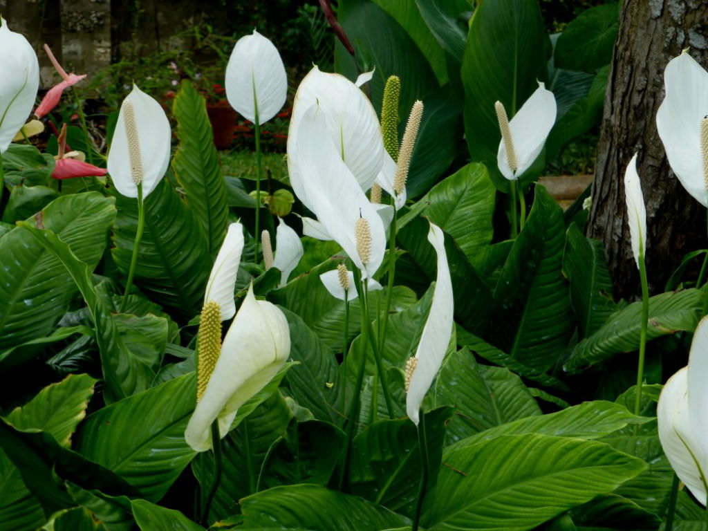Spathiphyllum Wallisii Peace Lily World Of Flowering Plants