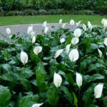 Spathiphyllum wallisii - Peace Lily