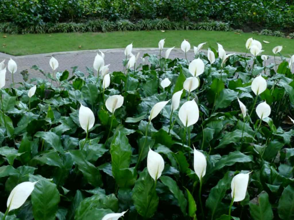 Spathiphyllum wallisii peace lily world of flowering plants spathiphyllum wallisii peace lily dhlflorist Image collections