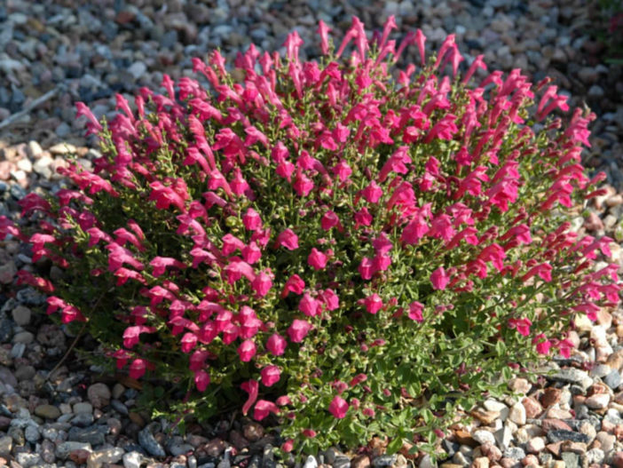 Subshrub (Scutellaria suffrutescens)