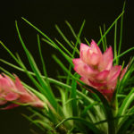Tillandsia stricta - Upright Air Plant