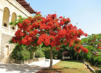 Tree (Delonix regia)