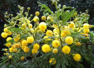 Vachellia karroo - Sweet Thorn