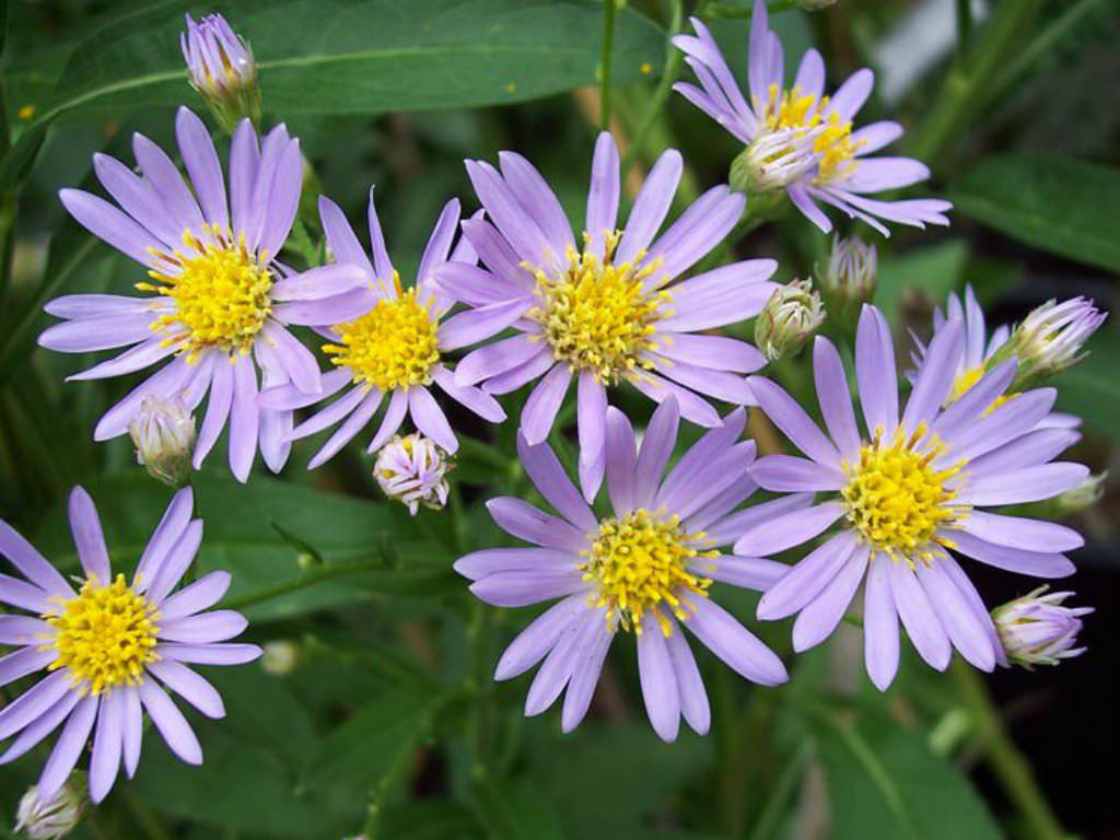 Aster: the legend of the flower. Myths about flowers