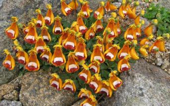 Calceolaria uniflora - Darwin's Slipper