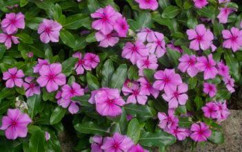 Catharanthus roseus - Madagascar Periwinkle